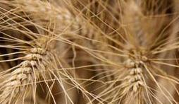לקנות Wheat Afik – Spring Type