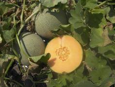 לקנות The firm fleshed melon