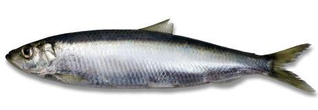 לקנות דג הרינג