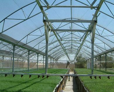לקנות ייצור זני מכלוא של עגבניות