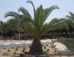 עץ דקל תמר קנרי
