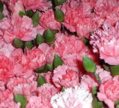 Carnation Spray (Dianthus caryophyllus)