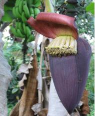 Banana saplings