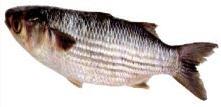 דג בורי