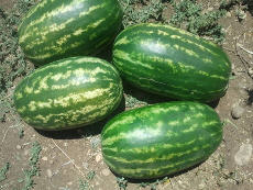 Our excellent shelf life seeded watermelon