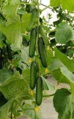 Maya Cucumber seeds