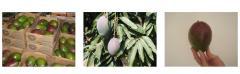 Mango Variety TOMMY
