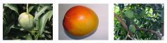 Mango Variety Maya