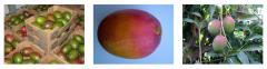 Mango Variety LILLY