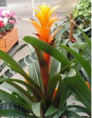 צמחים עציציים גוזמניה