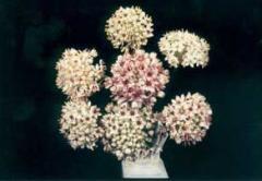 A. Sphaerocephalum  Allium