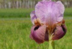 I. Spp  Iris
