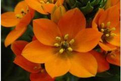 O. Dubium Orange