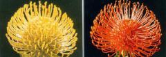Leucospermum L. High Gold
