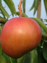 Mango Shelly