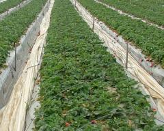 גידול תות שדה