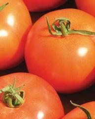 עגבניות לשטח פתוח