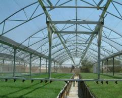 ייצור זני מכלוא של עגבניות