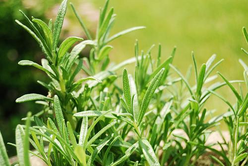 הזמנה Fresh Herbs Israel. Flora Export S.G. Israel LTD