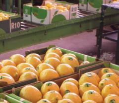 ייבוש, בירור, מיון, אריזה והפרדה של פירות קיץ
